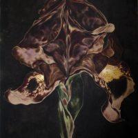 Zwarte Iris, 150-180